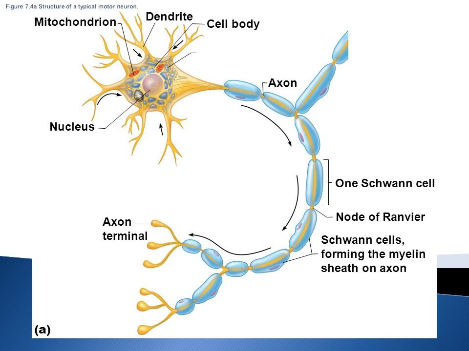 Figure 7.4a Structure of a typical motor neuron.