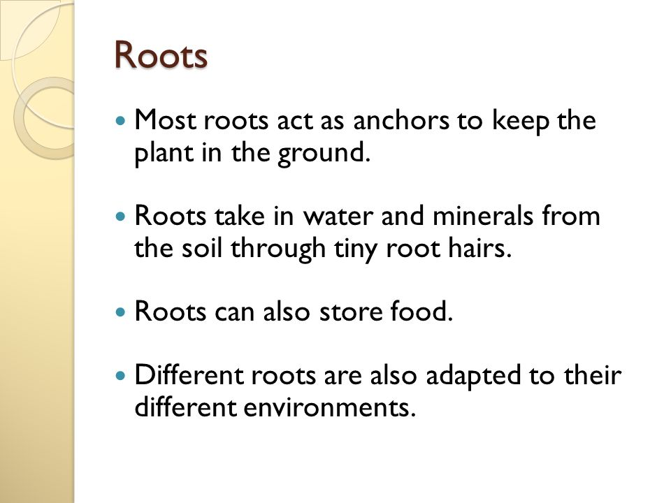 Roots Most roots act as anchors to keep the plant in the ground.