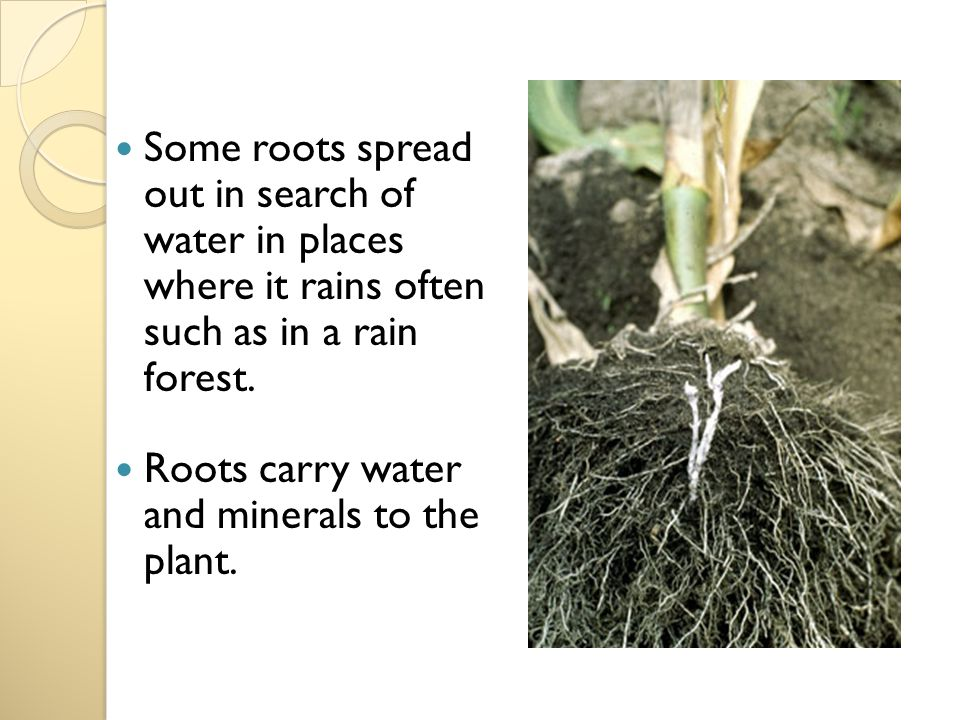 Some roots spread out in search of water in places where it rains often such as in a rain forest.