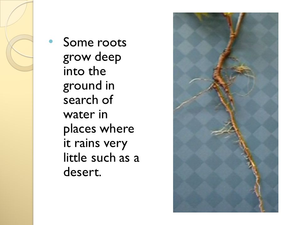 Some roots grow deep into the ground in search of water in places where it rains very little such as a desert.