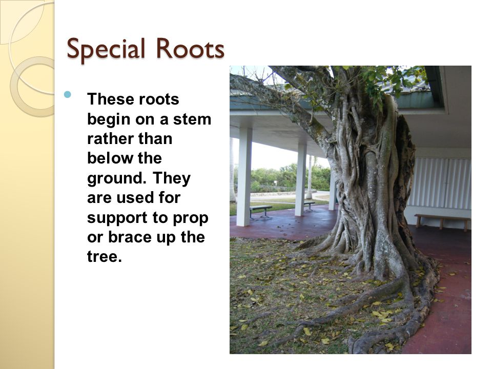Special Roots These roots begin on a stem rather than below the ground.