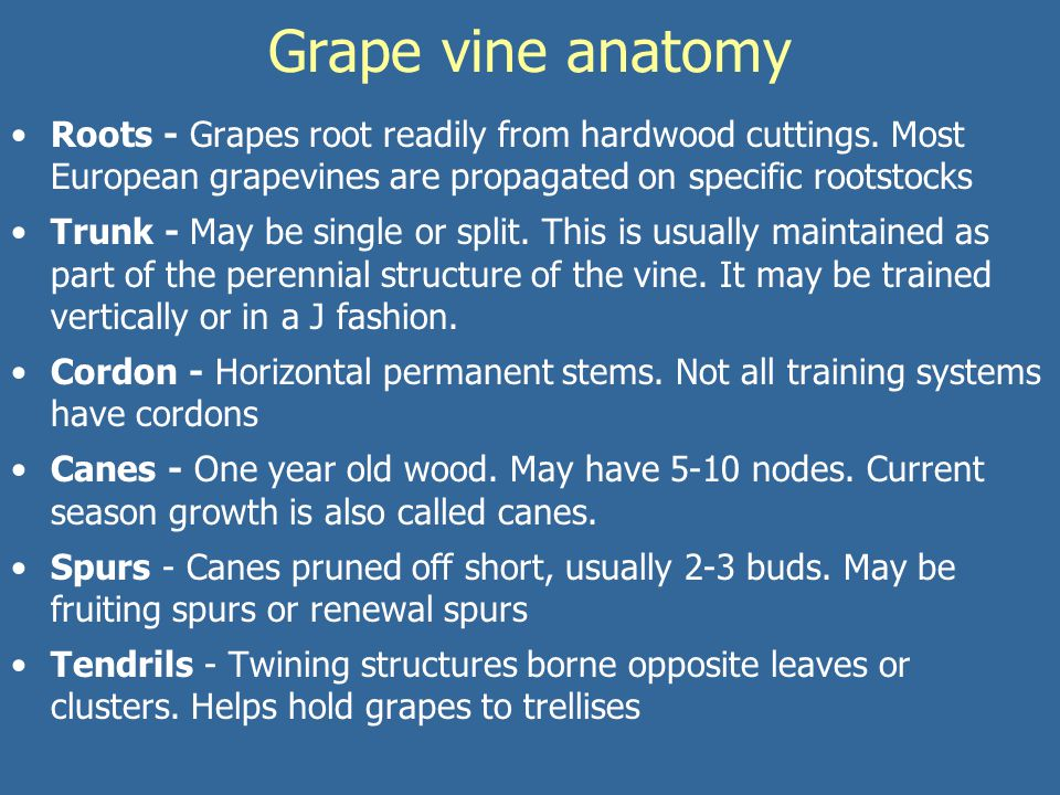 Grape Grapes are among the oldest cultivated plants in the world ...