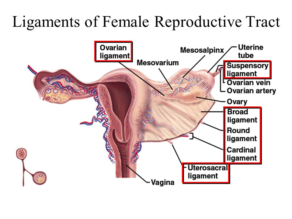 Chapter 28 The Female Reproductive System Ppt Video Online Download