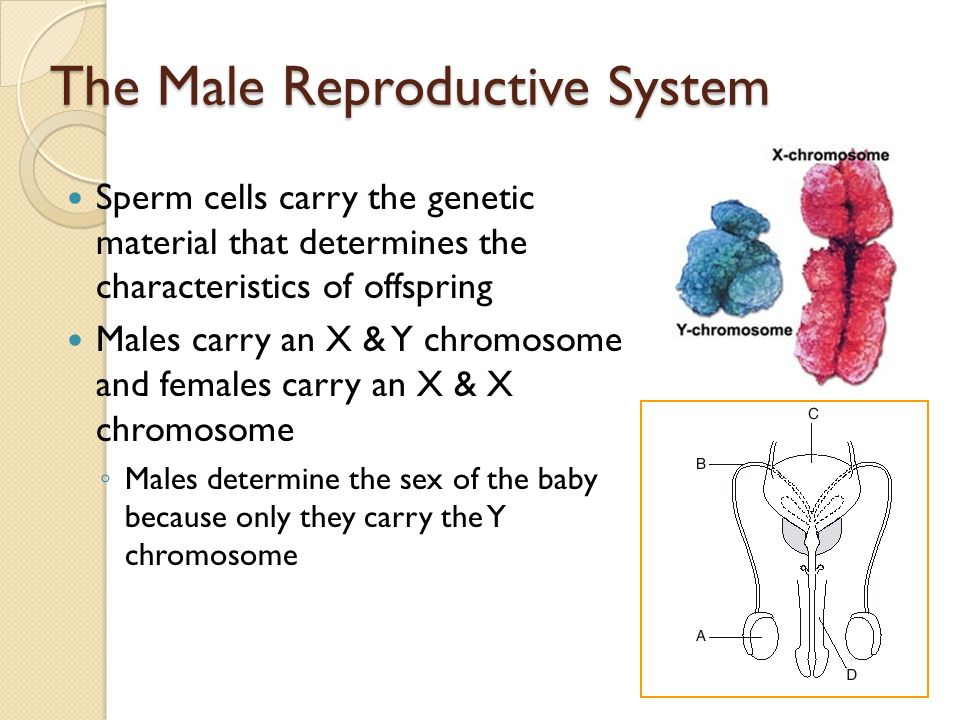Sperm carrying y chromosome