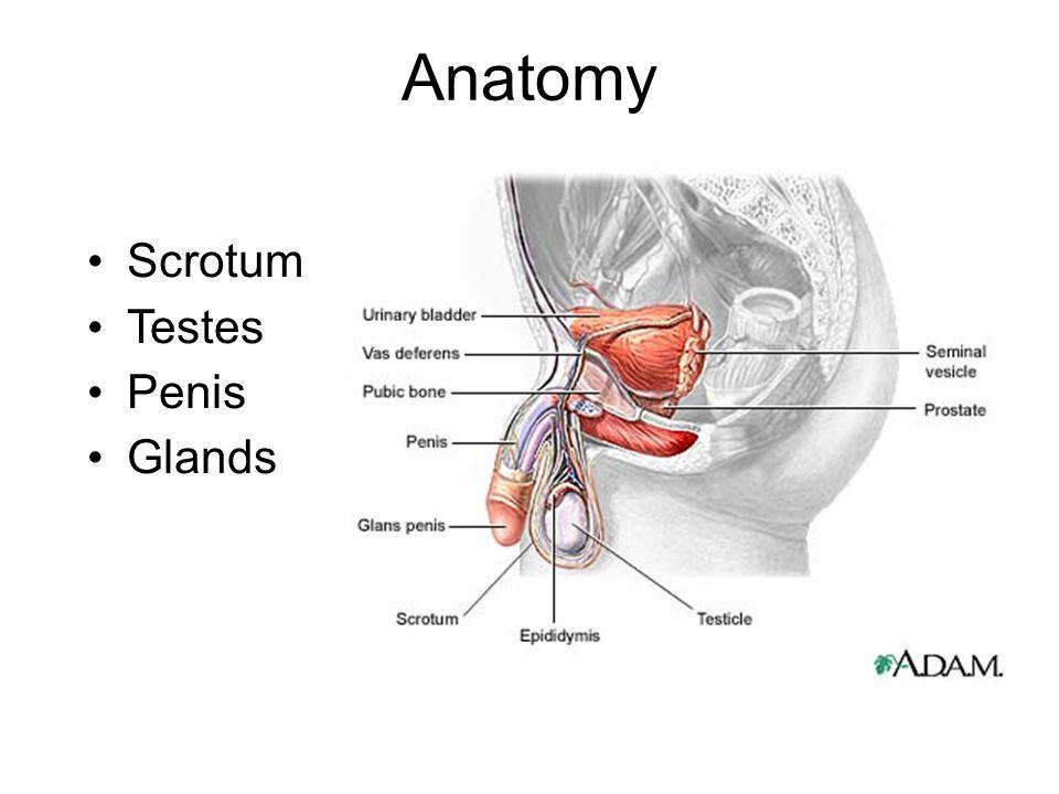Famoso Adam Anatomy And Physiology Ornamento - Anatomía de Las ...