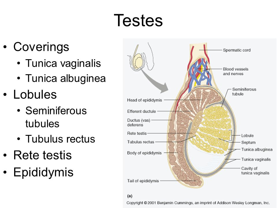 Amazing Picture Of Testis Composition - Anatomy And Physiology ...