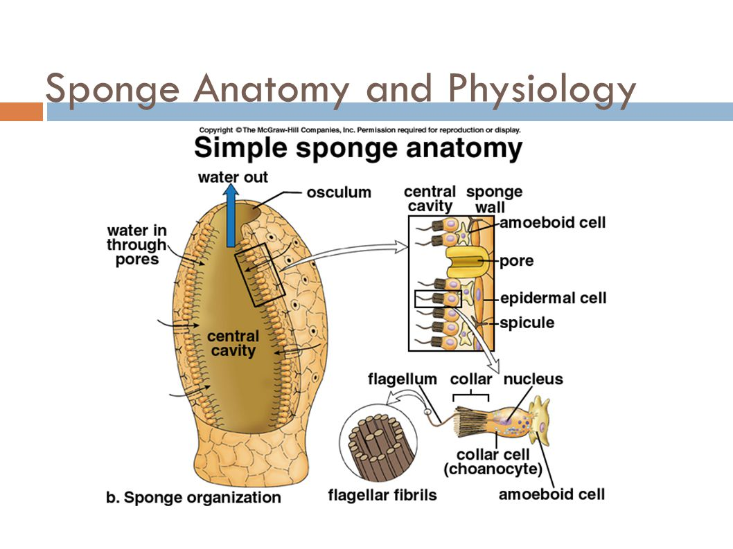 Sponges Phylum Porifera Ppt Video Online Download