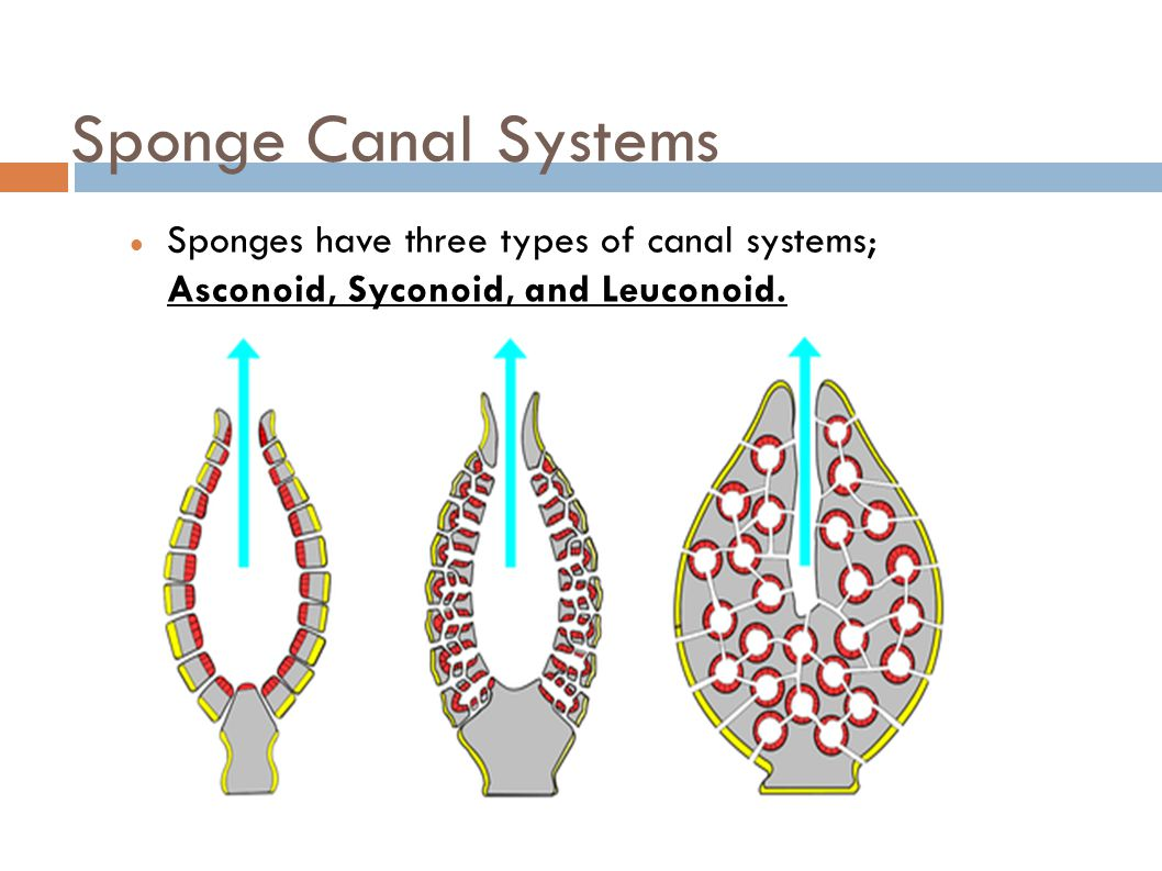 canal system in sponges
