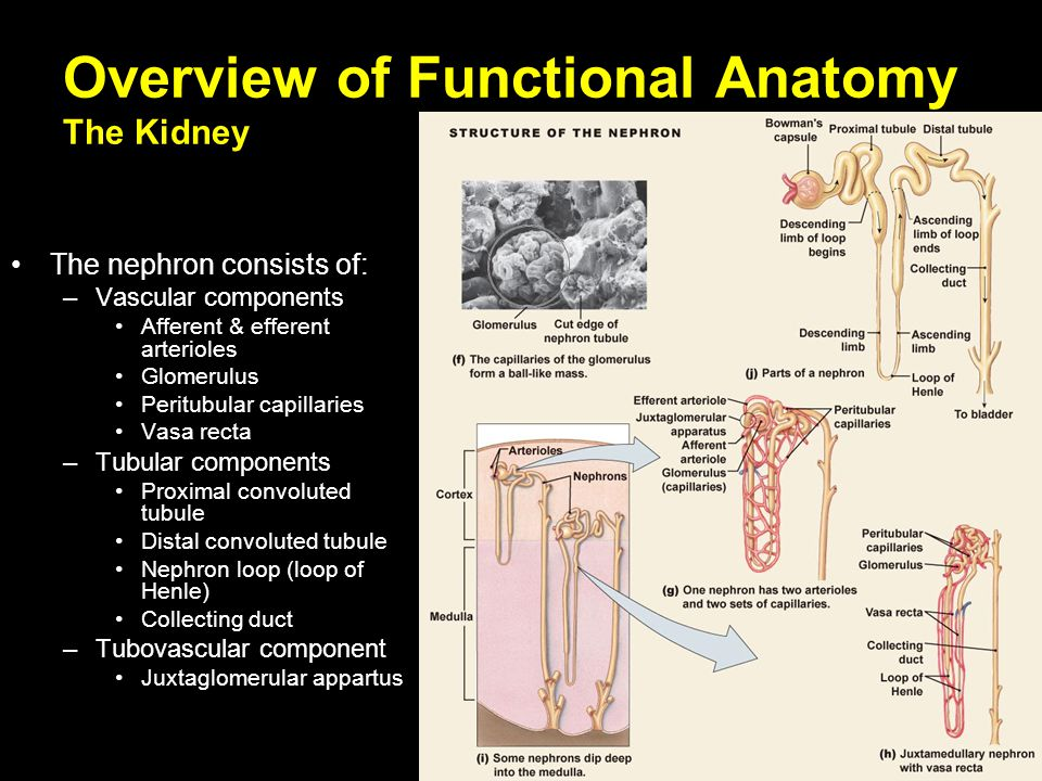 Renal Physiology. - ppt video online download