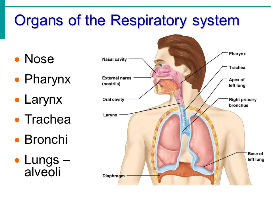 Chapter 13 Part 1 The Respiratory System Ppt Download