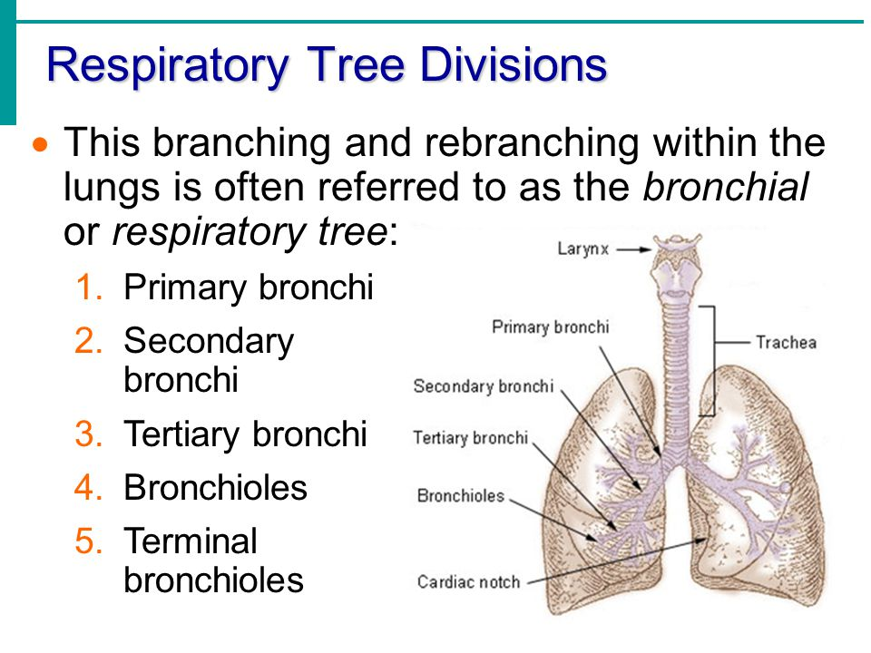Beautiful Respiratory Tree Anatomy Image Collection - Anatomy And ...
