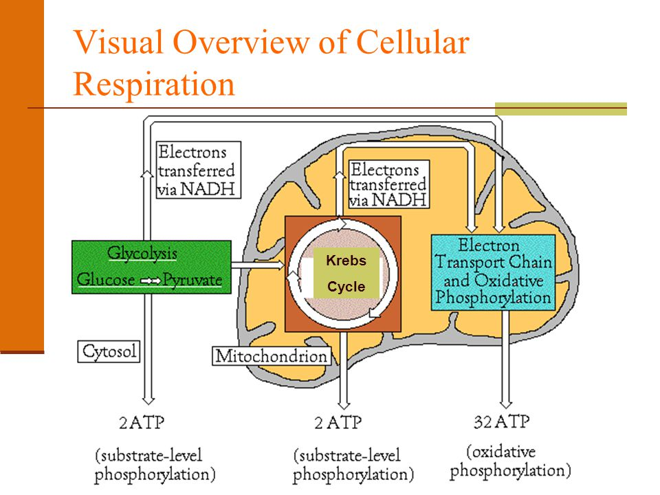 Cellular respiration unit iii chapter ppt video online download visual overview of cellular respiration ccuart Gallery