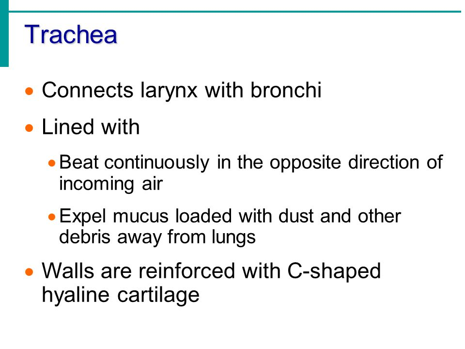 Trachea Connects larynx with bronchi Lined with