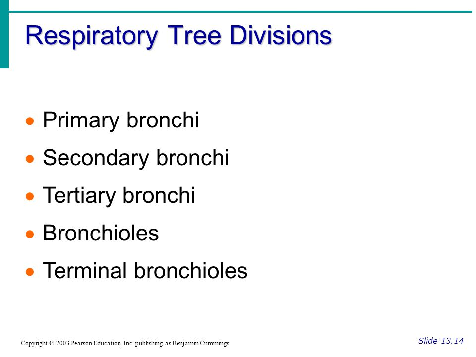 Respiratory Tree Divisions