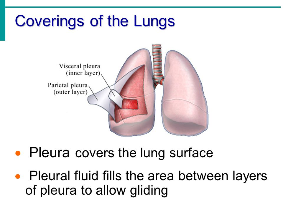Coverings of the Lungs Pleura covers the lung surface