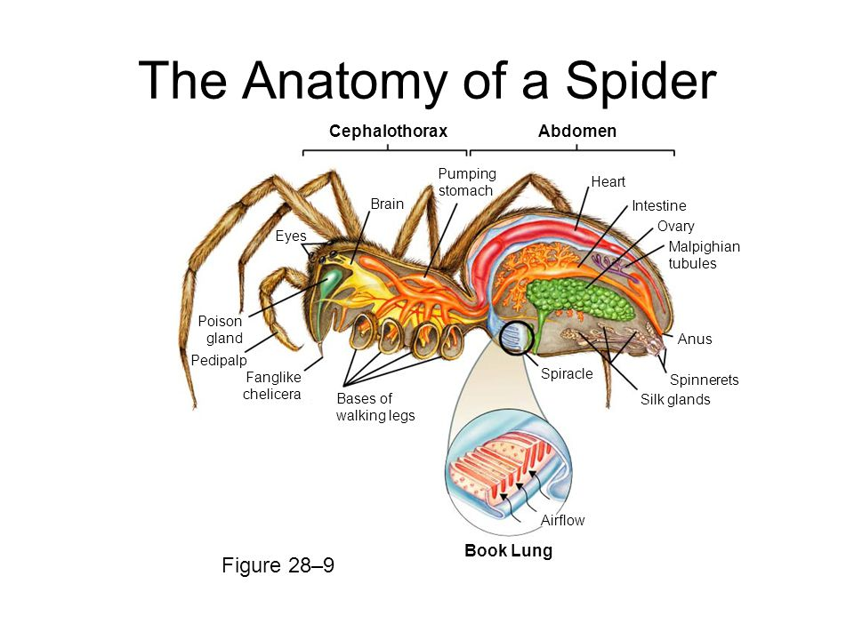 The Anatomy Of A Spider Images - human body anatomy