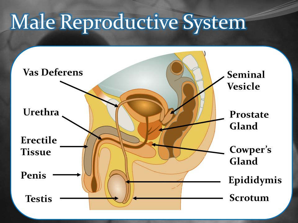Male Reproductive Cowpers Gland Diagram Block And Schematic Diagrams