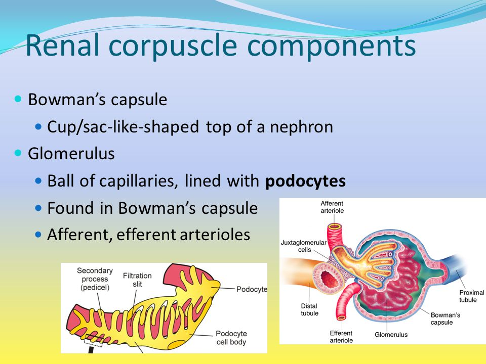 Renal corpuscle components