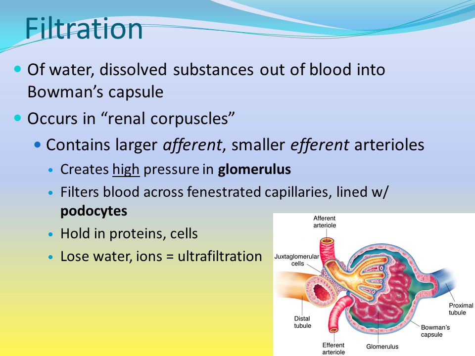 Filtration Of water, dissolved substances out of blood into Bowman's capsule. Occurs in renal corpuscles
