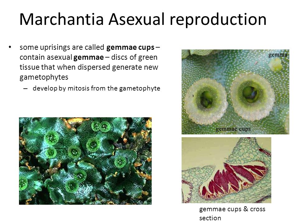 Gemmae cups asexual reproduction in plants