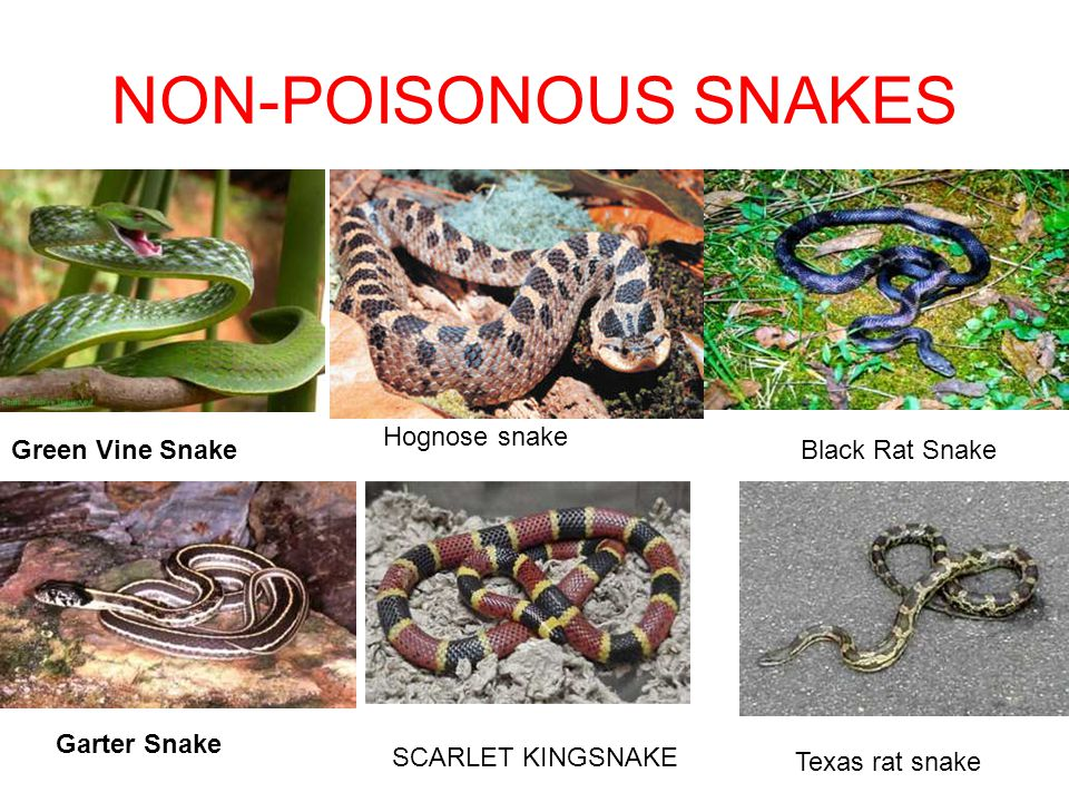 Image result for Poisonous and Nonpoisonous Snakes