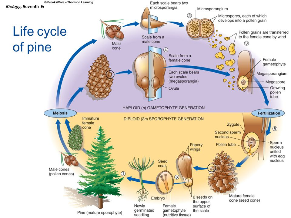 Life cycle of pine