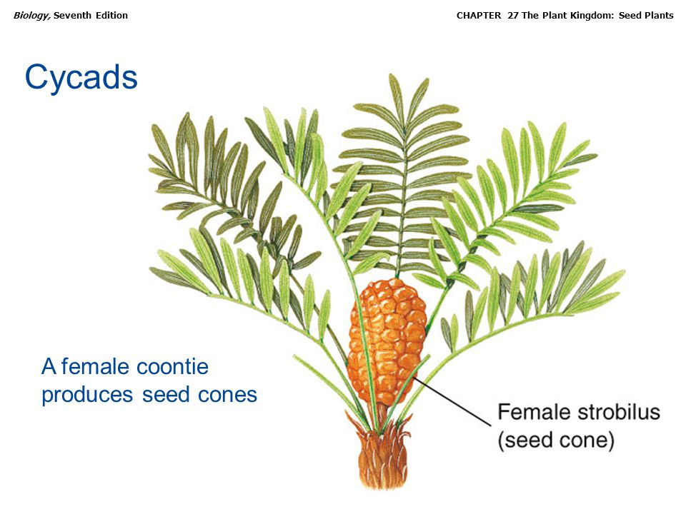 Cycads A female coontie produces seed cones