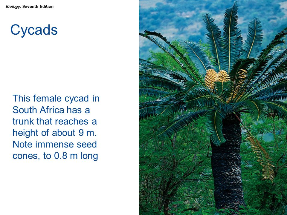 Cycads This female cycad in South Africa has a trunk that reaches a height of about 9 m.
