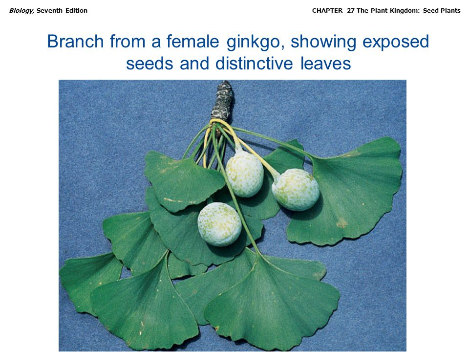 Branch from a female ginkgo, showing exposed seeds and distinctive leaves