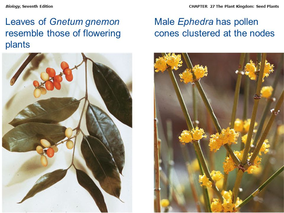 Leaves of Gnetum gnemon resemble those of flowering plants