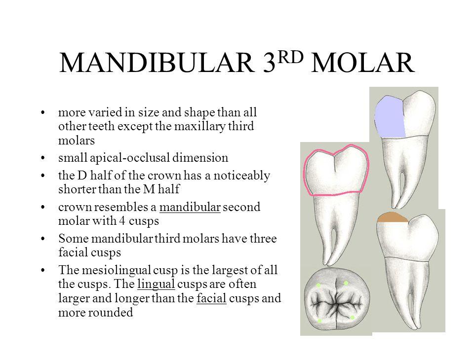 PERMANENT MANDIBULAR MOLARS - ppt video online download