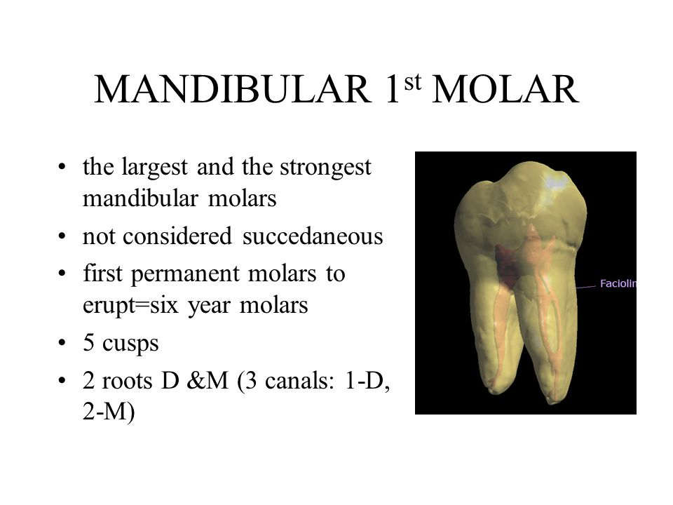 PERMANENT MANDIBULAR MOLARS - ppt video online download