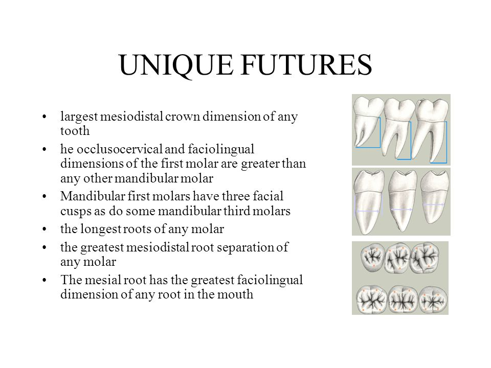 Permanent Mandibular Molars Ppt Video Online Download