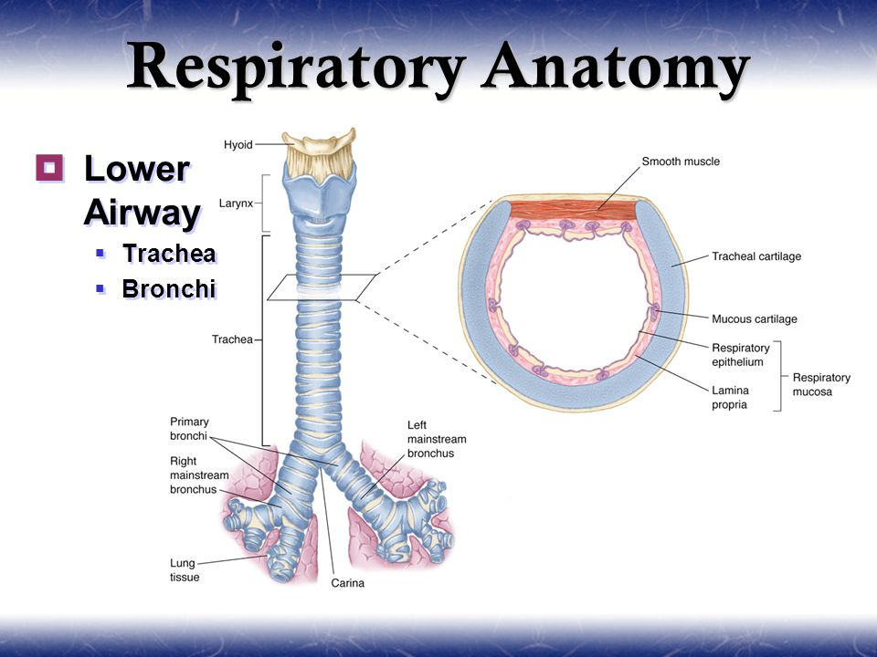 Pulmonology. - ppt video online download