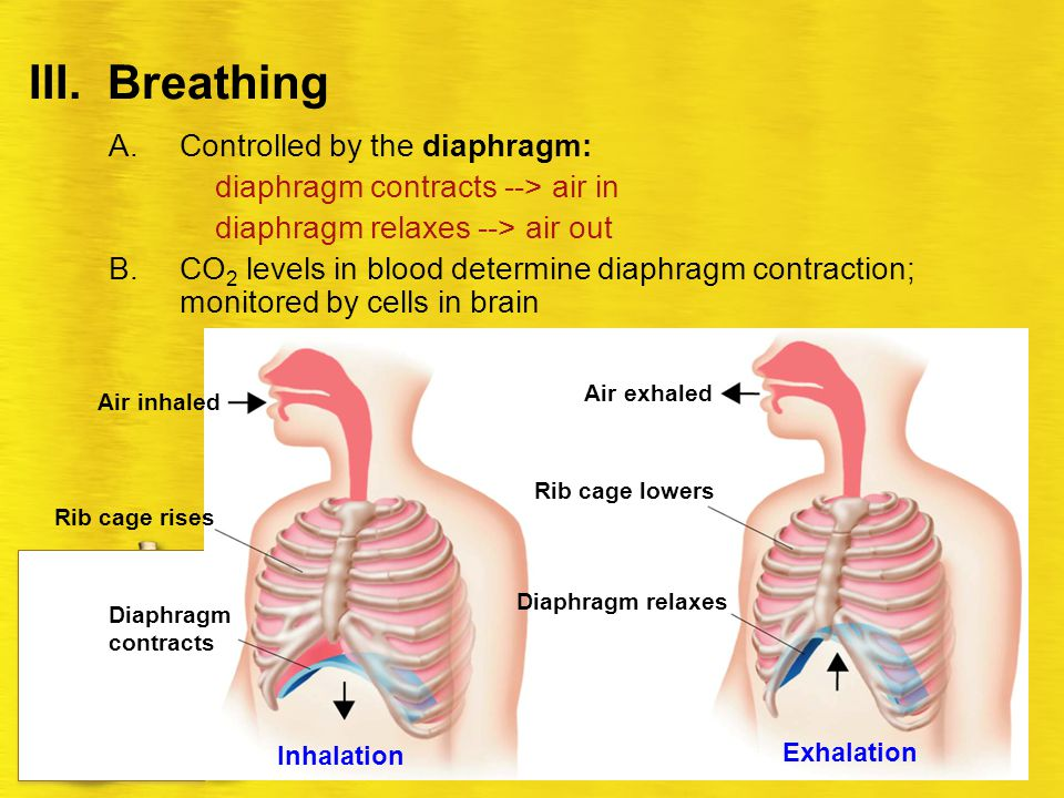 Respiratory System Ch ppt video online download