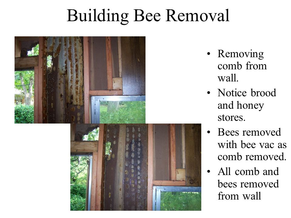 Bee Bumbler Bee Removal - ppt video online download