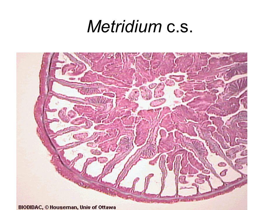 Metridium cross section