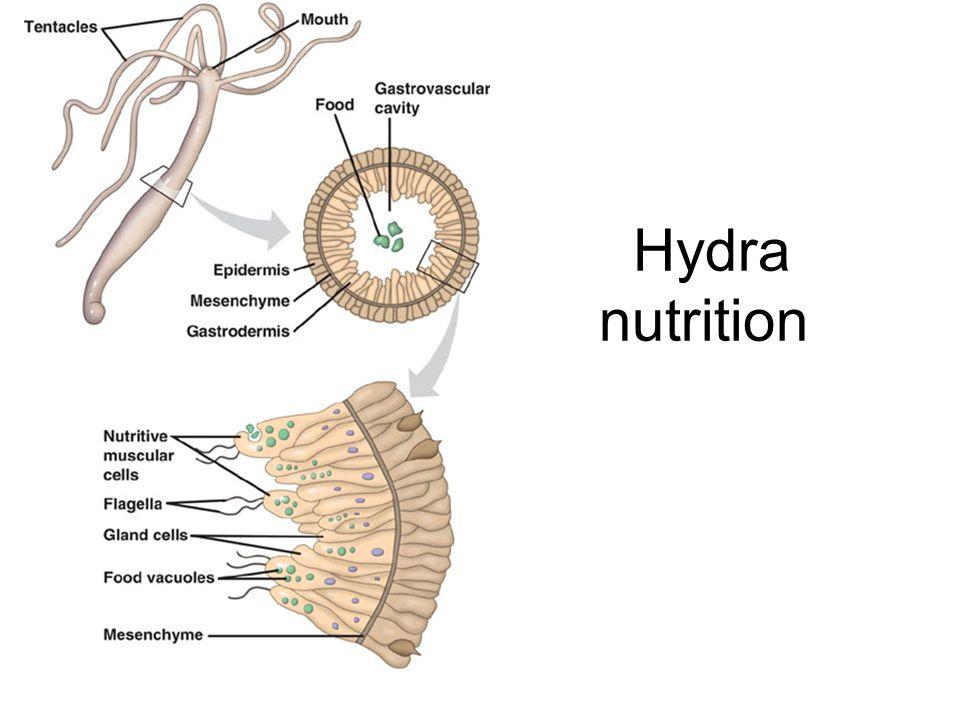 """Cnidarians Hydrozoa – Hydras Scyphozoa – Sea Jellies , """" Jelly fish ..."""
