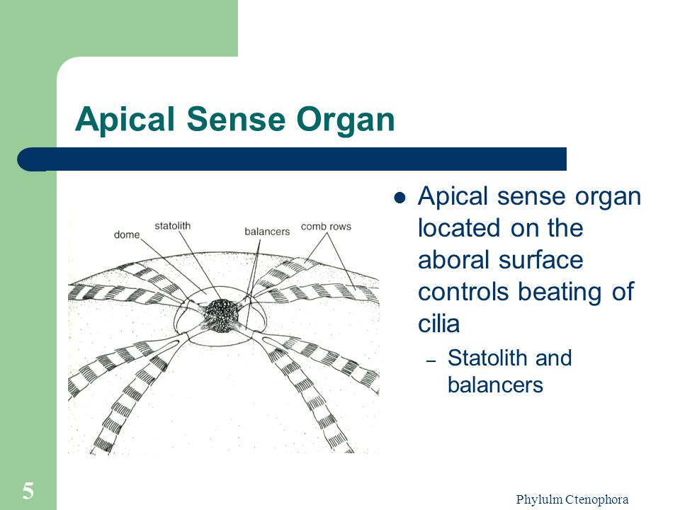 Apical Sense Organ Apical sense organ located on the aboral surface controls beating of cilia. Statolith and balancers.