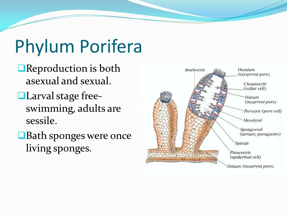 Phylum porifera asexual reproduction