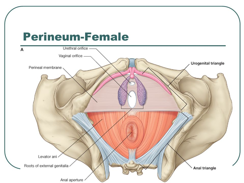 Pelvis Perineum Ppt Video Online Download