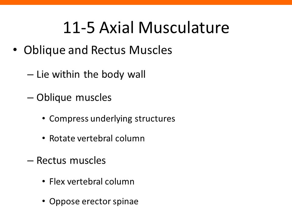 11-5 Axial Musculature Oblique and Rectus Muscles