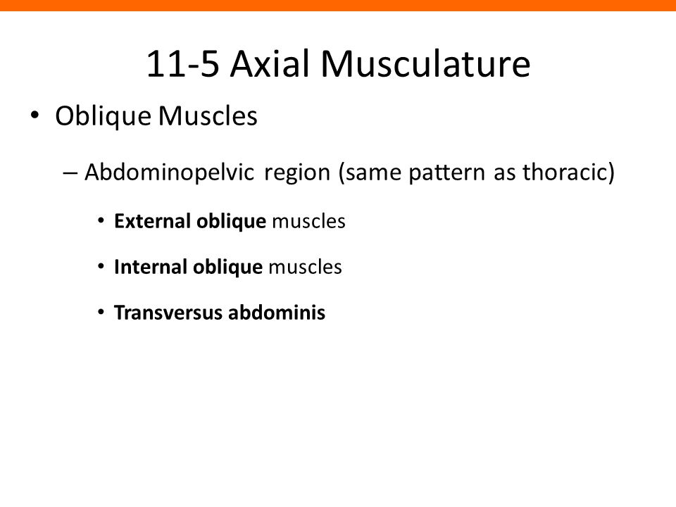 11-5 Axial Musculature Oblique Muscles