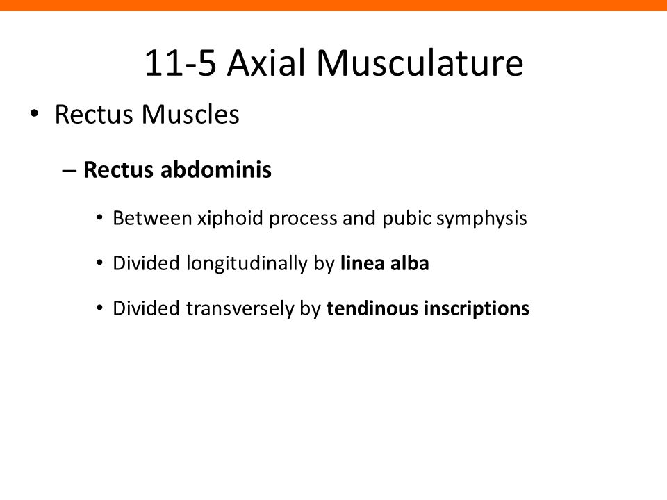 11-5 Axial Musculature Rectus Muscles Rectus abdominis