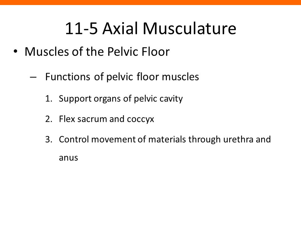 11-5 Axial Musculature Muscles of the Pelvic Floor