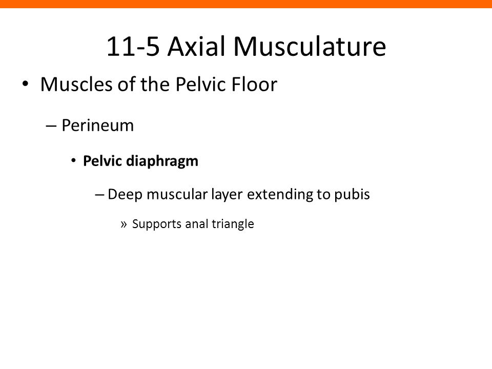 11-5 Axial Musculature Muscles of the Pelvic Floor Perineum