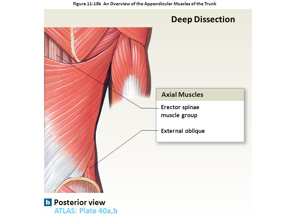 Figure 11-13b An Overview of the Appendicular Muscles of the Trunk