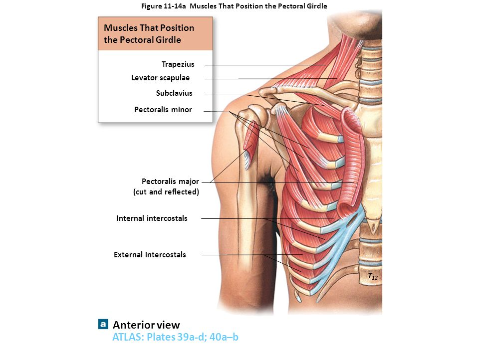 Figure 11-14a Muscles That Position the Pectoral Girdle