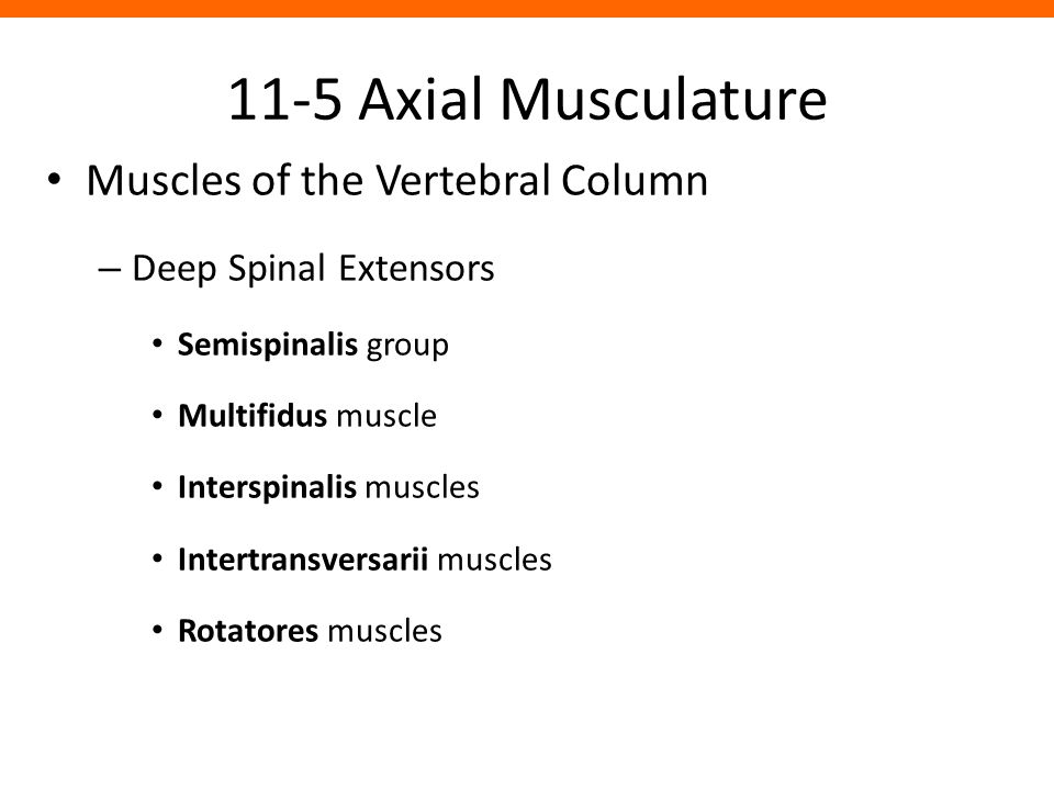 11-5 Axial Musculature Muscles of the Vertebral Column