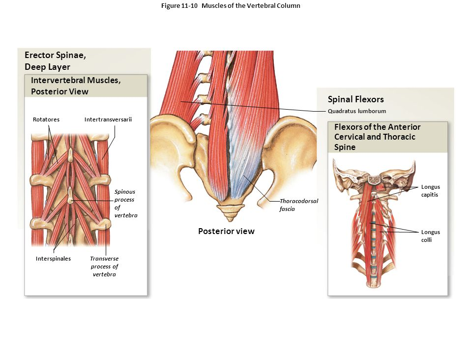 Figure Muscles of the Vertebral Column
